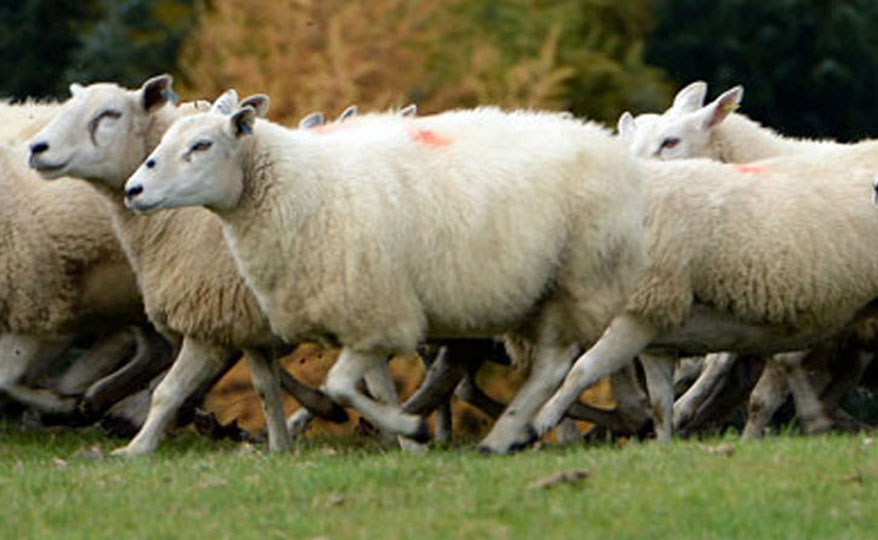 A flock of sheep running across field, highlighting Sainsbury's Animal Health and Welfare commitment